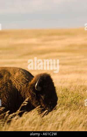 Le bison dans les prairies du parc national Theodore Roosevelt Dakota du Nord Banque D'Images