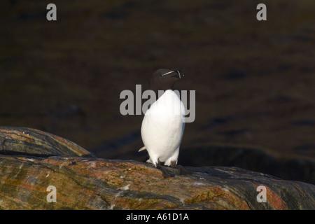 Petit pingouin Thule Greenland Banque D'Images