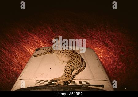 Kenya Masai Mara femme adulte Cheetah Acinonyx jubatas reposant sur capot de camion safari dans l'herbe haute au Banque D'Images