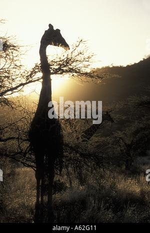 Afrique Kenya Samburu National Reserve giraffe réticulée Giraffa camelopardalis se nourrissant d'acacia épineux Banque D'Images