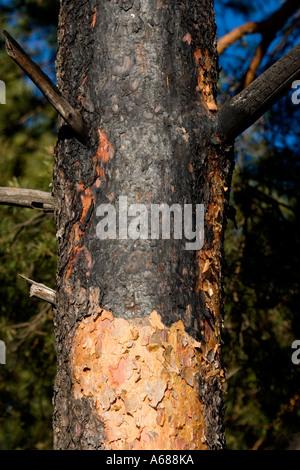 Les dégâts causés par le feu sur le Pin ( Pinus sylvestris ) tronc de l'arbre . Écorce endommagée par le feu Banque D'Images