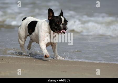 Bouledogue français (Canis lupus familiaris) s'exécutant sur la plage Banque D'Images