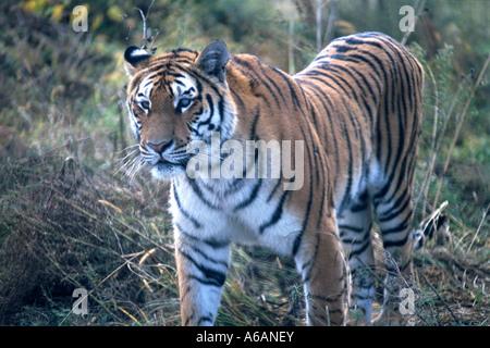 Harbin, Heilongjiang, Chine, Sun Island, Siberian Tiger Park, captive tigre de Sibérie (Panthera tigris altaica) Banque D'Images