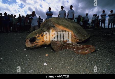 Réhabilité tortue caouanne Caretta caretta relâchée en face de foule on beach Banque D'Images