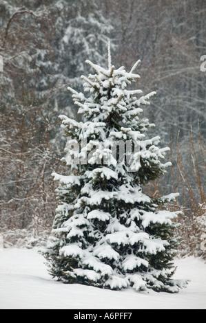 Un sapin recouvert de neige ressemble à un arbre de Noël en attente de feux dans cette scène de campagne Banque D'Images