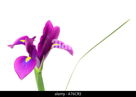 Close up d'un mauve violet iris magenta bloom tête sur un fond blanc, pur. Banque D'Images