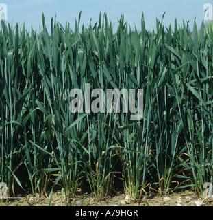 Visage d'une bonne récolte de blé dans la feuille étendard Hampshire Banque D'Images