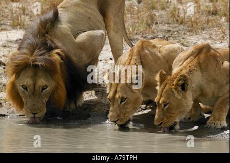 Deux lionnes et un lion à crinière noire boire d'une pan naturel Parc National Kruger Mpumalanga Afrique du Sud