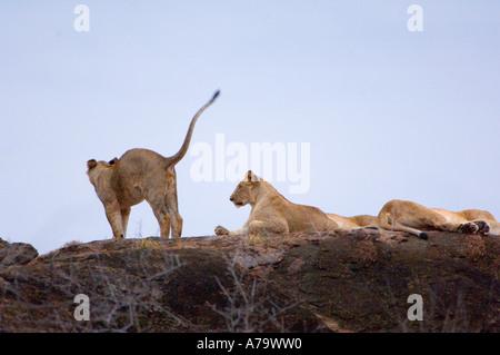 34 trois ou quatre jeunes lion debout rock altitude mensonge regarder dormir regarder pour la proie le Kenya à un Banque D'Images