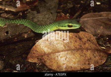 La Vine Snake, Serpent de vigne Copes (Oxybelis brevirostris), portrait