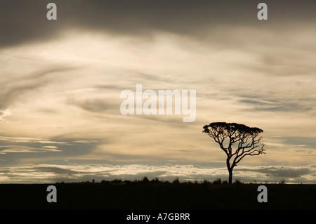 Un arbre isolé silhouetté contre le soir lumière créant une atmosphère Moody. Banque D'Images