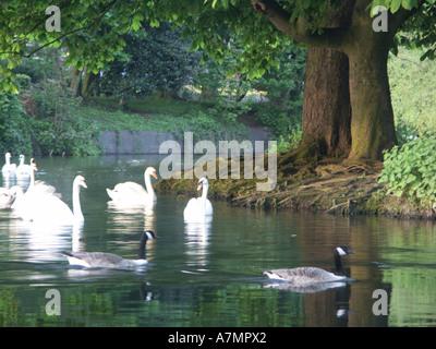 Les cygnes et les oies sur la rivière Anker à Tamworth Banque D'Images