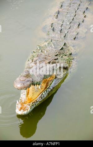 Avec Crocodile il bouche ouverte dans l'eau, en Floride Banque D'Images