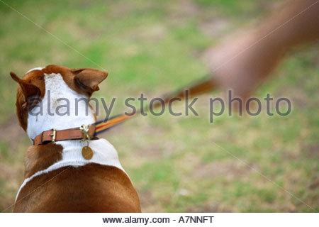 Man Walking dog sur l'herbe vue arrière close up differential focus Banque D'Images