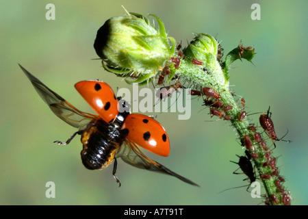 Close-up d'Seven-Spot Coccinelle (Coccinella septempunctata) volant près de bud Banque D'Images