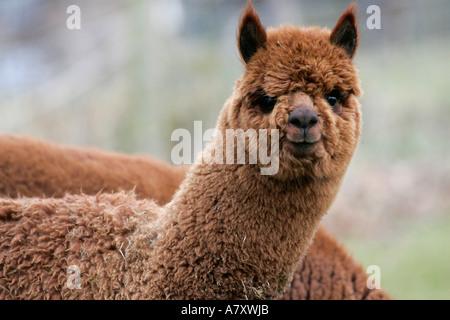 Vicugna pacos Alpaga marron tête et épaules à la recherche vers la caméra sur une petite ferme en dehors portadown