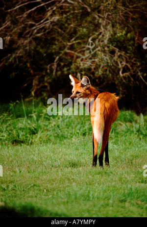 L'Uruguay, Montevideo. Autochyhony La flore de la réserve. Le loup à crinière (aka Pampas Wolf) indigène et en voie Banque D'Images