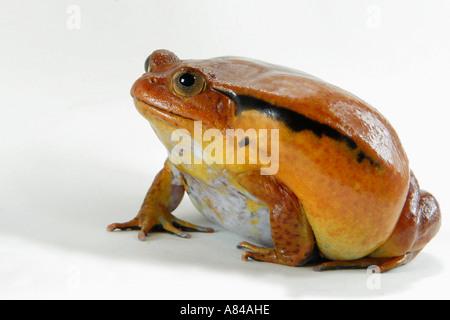 La grenouille tomate Dyscophus guineti cut out Banque D'Images