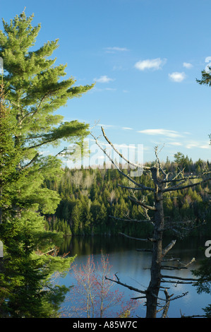 Les pins blancs sur fond de ciel bleu dans la forêt boréale de l'Est Canada New Brunswick Canada avec un pin mort Banque D'Images