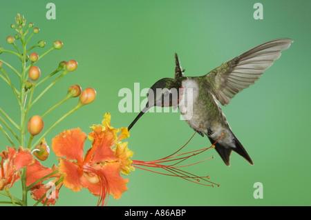 Colibri à gorge rubis (Archilochus colubris) homme en vol se nourrissant d'oiseaux de paradis rouge Vallée du Rio Banque D'Images