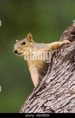 L'Est de l'Écureuil Fox Sciurus niger des profils sur l'arbre Uvalde County Texas Hill Country USA Avril 2006 Banque D'Images