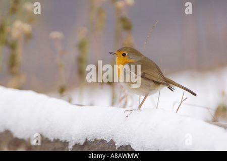 Rougegorge familier Erithacus rubecula aux abords des profils sur clôture avec snow Flachsee Suisse Mars 2005 Banque D'Images