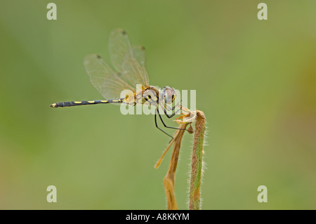 Dragon fly, Aeschna spec. Banque D'Images