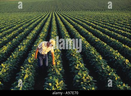 Agriculture - un agriculteur l'inspection de son champ de soja de la croissance moyenne en fin d'après-midi la lumière Banque D'Images
