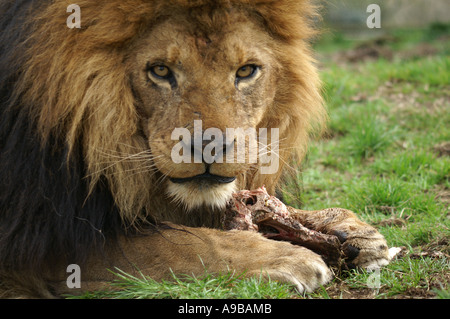 African lion mâle Pantheris Tigris Altaica Mammalia Carnivorae Félidés Panthera leo Banque D'Images
