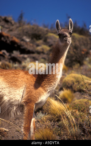 Guanacos (Lama guanicoe) dans le Parc National Torres del Paine, Patagonie, Chili