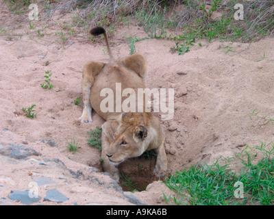 Lionne de piscine de l'eau potable au chemin de terre en Kruger National Park