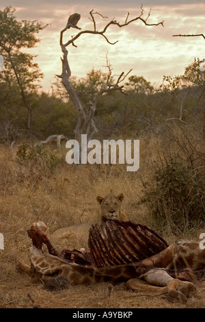 Lion se nourrissant d'une carcasse de girafe avec charognard sur tree en attente - Afrique du Sud Banque D'Images