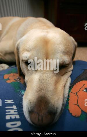 Gros plan extrême d'un amour doux mignon jeune mâle golden labrador pedigree chien dormir sur ses chiens lit dans Banque D'Images