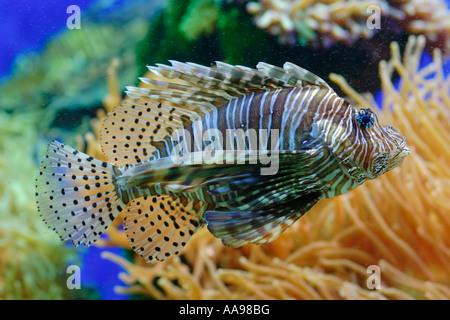 En aquarium poisson lion Banque D'Images