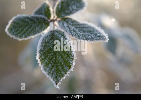 Givre sur les feuilles sur un matin d'hiver Poyntington Sherborne Dorset England UK nr Banque D'Images
