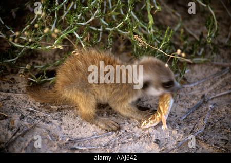 Meerkat bébé manger un barking gecko désert du Kalahari en Afrique du Sud Banque D'Images