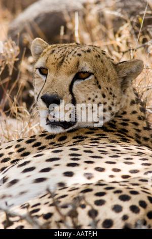 Le guépard Acinonyx jubatus portrait repos à l'ombre au Kenya Banque D'Images