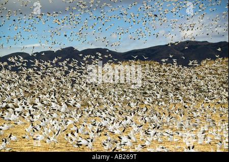 Des milliers d'oies des neiges voler sur un champ à la Bosque del Apache National Wildlife Refuge près de San Antonio Banque D'Images