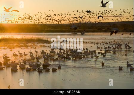 Des milliers d'oies des neiges et la grue s'asseoir sur le lac au lever du soleil après le début de l'hiver gel Banque D'Images
