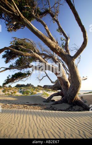 Dunes de sable de la plage d'état de Pismo Pismo Beach en Californie Banque D'Images