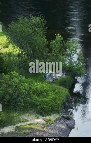 Le renne (Rangifer tarandus), sur la rive de la rivière Oulanka, Finlande, Parc National d'Oulanka Banque D'Images
