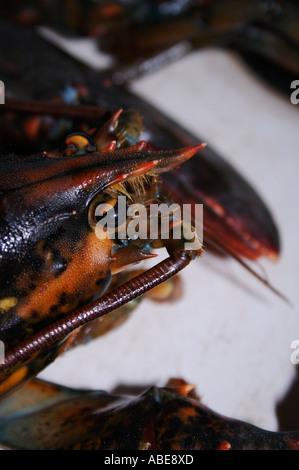 Le homard, Close up Banque D'Images
