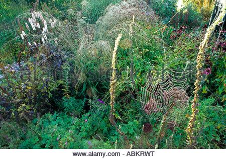 Subsp caerulea molinie arundinacea Transparent Lit de vivaces rosée matinale et de toiles d'araignées Piet Oudolf Banque D'Images