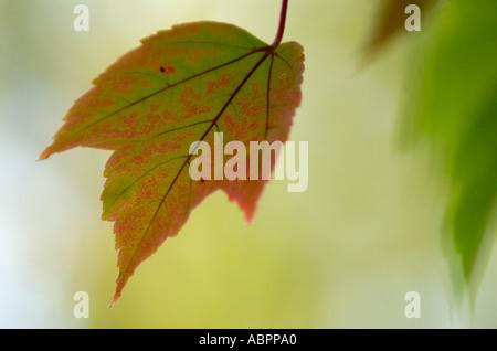 Feuille d'érable aux couleurs de l'automne Banque D'Images