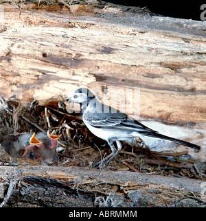 Bergeronnette grise Motacilla alba Pied adulte au nid nourrir