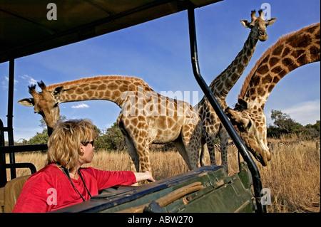 Le sud de Girafe Giraffa camelopardalis giraffa avec les touristes sur la commande de jeu Private Game Reserve Afrique du Sud libérée du modèle