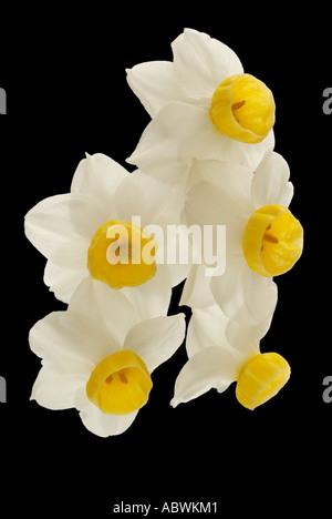 Narcisses blanc crème blanc jonquille fleur pétale groupe close up emblématique de l'atmosphère pittoresque paysage voyage moody classic