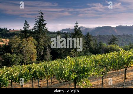 Lumière du matin sur wine vignoble dans les collines le long de la Route Mount Veeder s Caounty Napa Californie Banque D'Images