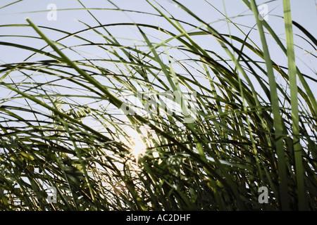Soleil qui brille à travers les brins d'herbe