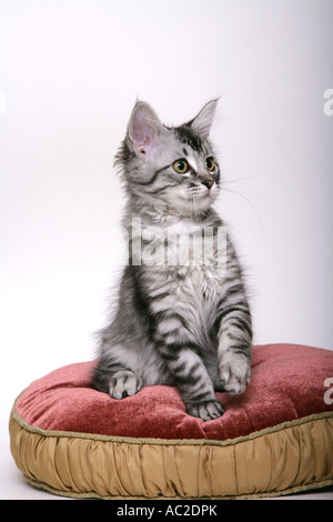 Un mignon chaton de 12 semaines Tabby posing for the camera Banque D'Images